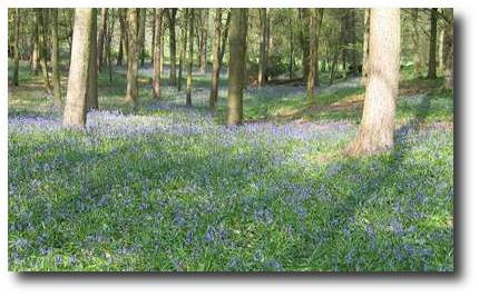 Image: A forest covered with bluebells