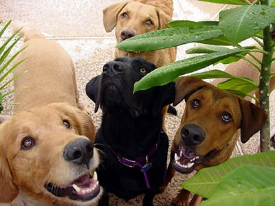 Photo of four friendly labrador dogs