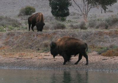 Buffalo by a lake